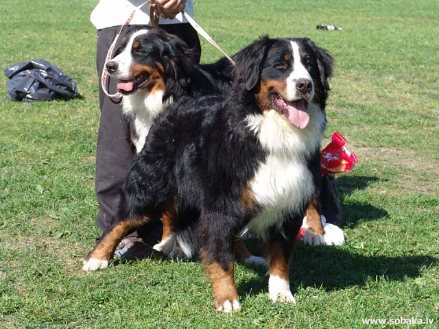 Bernese Mountain Dog (Bernese Mountain Dog)