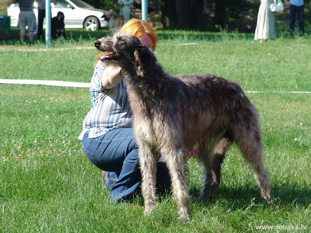 Deerhound (Deerhound) 