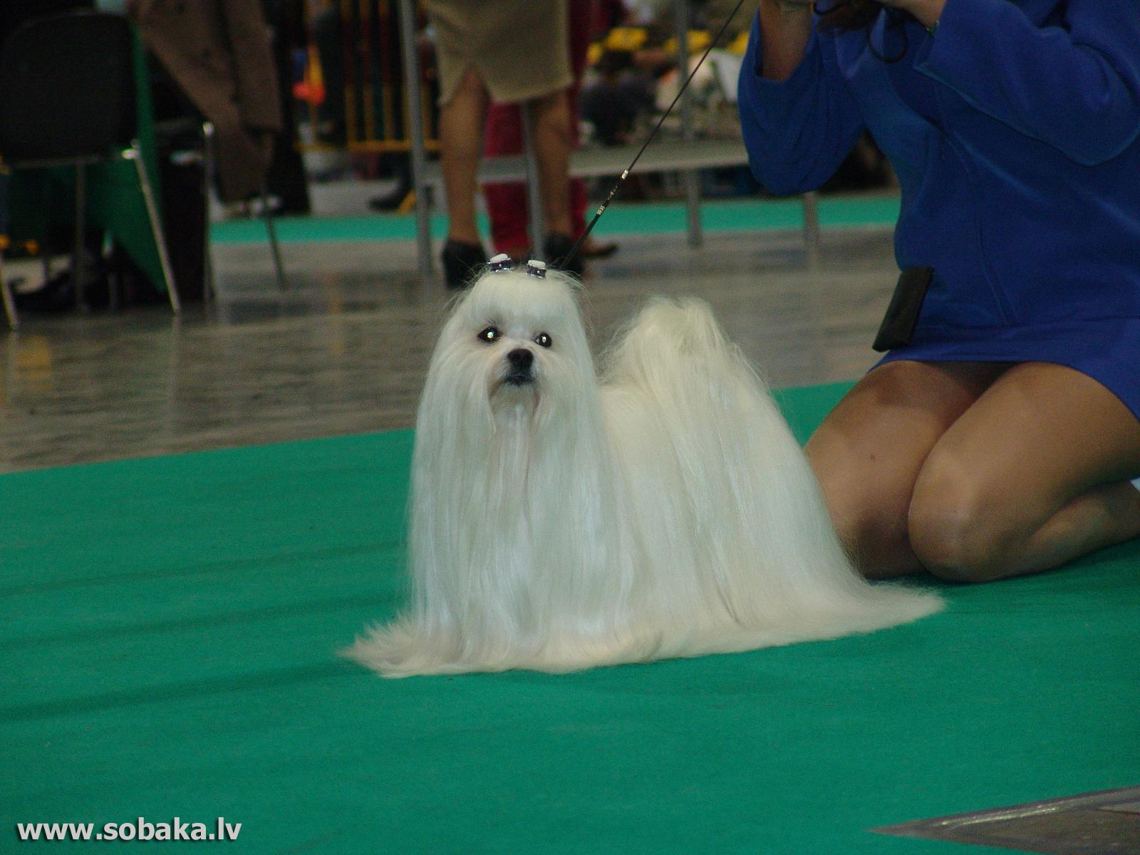 Мальтийская собака фото 5