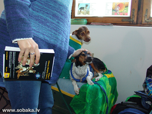 Brazilian Terrier 