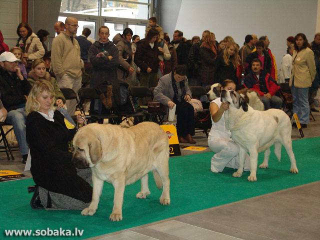 Spanish Mastiff 