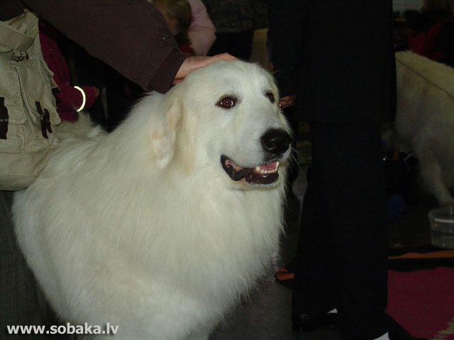 Pyrenean Mountain Dog (Pyrenean Mountain Dog)