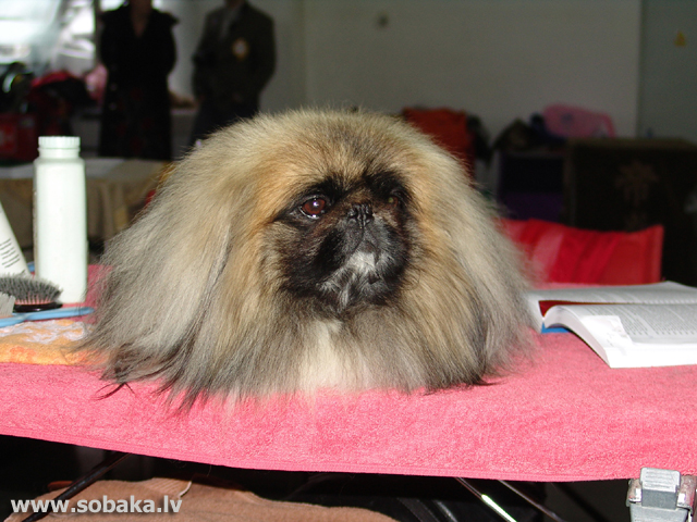 Pekingese 