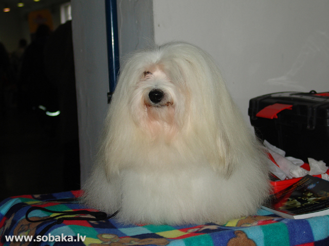 Coton de Tulear 