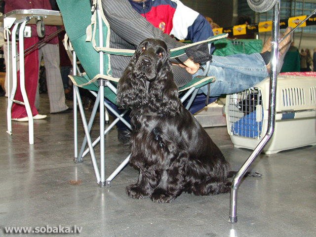 English Cocker Spaniel (English Cocker Spaniel)
