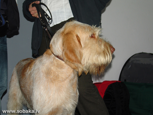Italian Wire-haired Pointing Dog