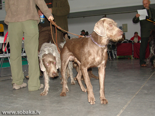 Slovakian Wire-haired Pointing Dog
