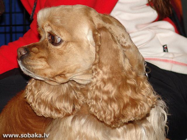Стрижка щенка кокер спаниеля