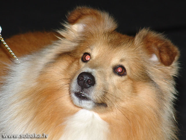 Shetland Sheepdog - Sheltie 