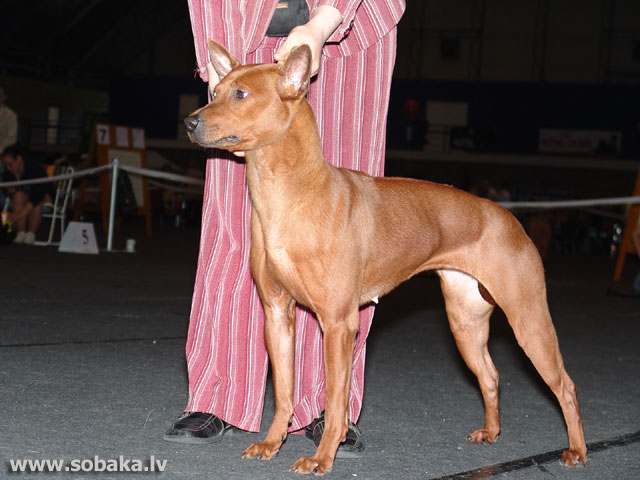 Thai Ridgeback Dog 