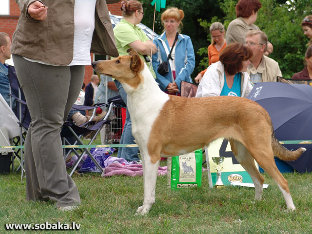 Collie Smooth (Collie Smooth)
