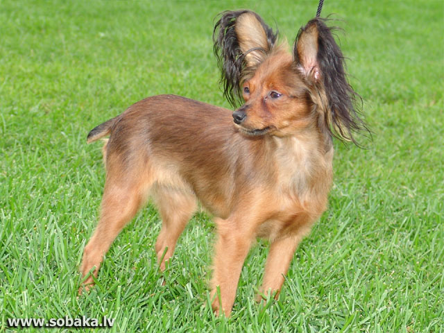 Russian Toy Terrier (Russian Toy Terrier)