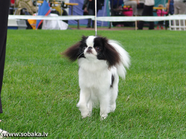 Japanese Chin 
