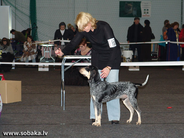 Small Blue Gascony Hound