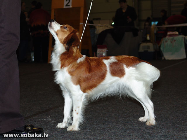 Small Dutch Waterfowl Dog