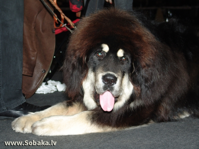 Tibetan Mastiff 