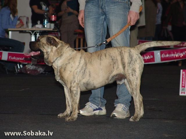 Majorca Mastiff 