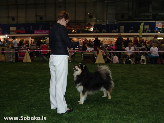 Finnish Lapphund, Lapp Reindeer dog 