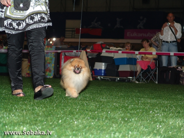 German Spitz 