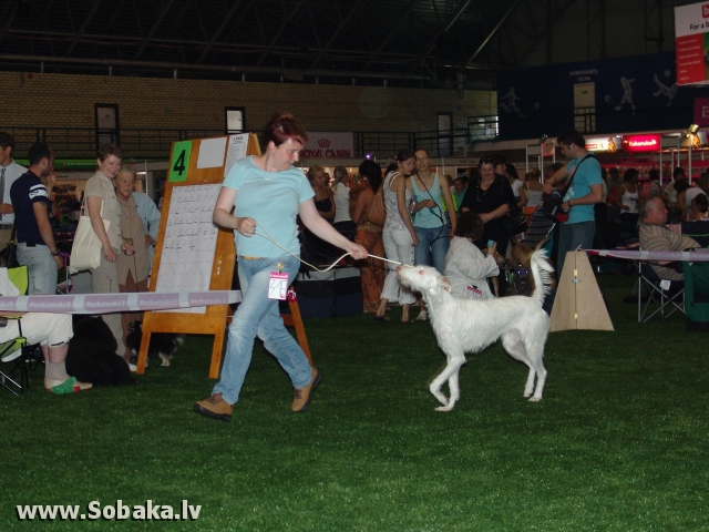 Ibizan Warren Hound - Ibizan Podenco 