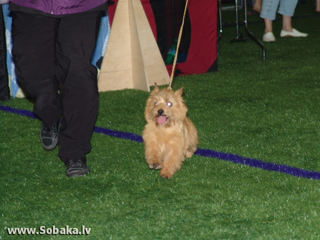 Norwich Terrier 
